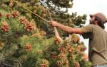 Как вырастить кедр из кедрового ореха