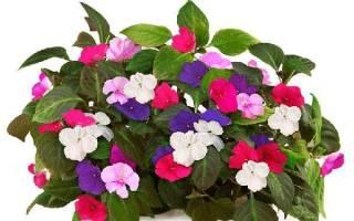 Ванька мокрый комнатный цветок можно держать дома