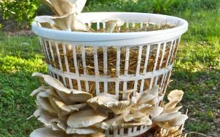 Как вырастить грибы из мицелия на садовом участке