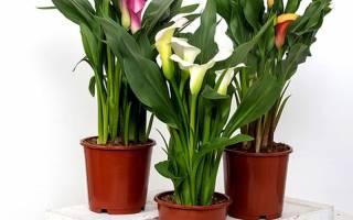 Домашний цветок калла как ухаживать