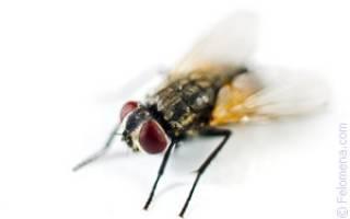 К чему в доме появляется много мух