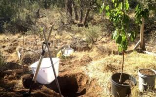 Как правильно сажать саженцы вишни осенью