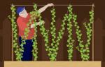 Как выращивать хмель для пива
