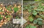 Как осенью ухаживать за ремонтантной клубникой