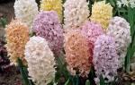 Как выглядит цветок гиацинт