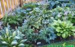 Как выглядят семена хосты