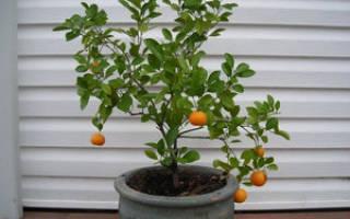 Как пересадить мандарин в домашних условиях