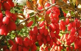 Из ягод барбариса что можно сделать