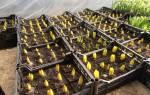 Как вырастить тюльпаны к 8 марта дома