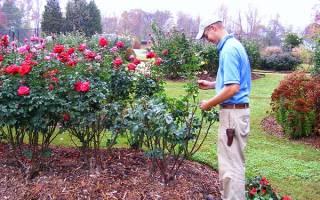 Как обрезать розы на зиму в подмосковье