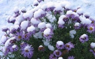 Как подготовить к зиме хризантемы