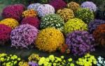 Как вырастить из семян хризантему в домашних условиях