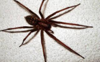 Большие пауки в доме опасно ли это