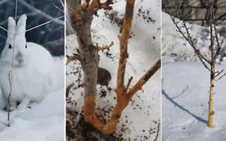 Как защитить саженцы от мышей зимой