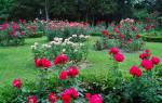Как в августе ухаживать за розами