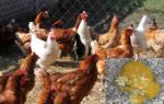 Желтый понос у кур причины и лечение