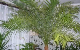 Как из финика вырастить пальму