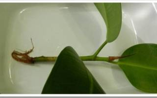 Как вырастить фикус из листа