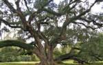 Как быстро растет дуб из саженца