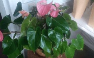 Домашний цветок антуриум как ухаживать