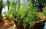 Как вырастить на подоконнике укроп из семян