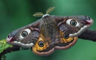 Большая ночная бабочка с узором в виде глаз