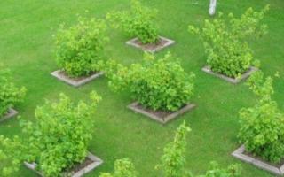 Как правильно сажать плодовые деревья на участке схема