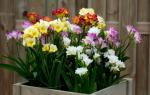 Как выглядят цветы фрезия