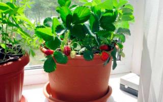 Как вырастить клубнику в домашних условиях