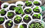Как вырастить клубнику из семян на подоконнике в квартире зимой