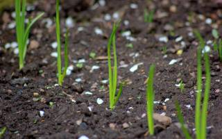 Как вырастить из чернушки лук севок
