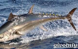 Как выглядит рыба тунец